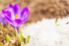 Flor bonita do açafrão da mola na imagem de fundo Imagens de Stock Royalty Free