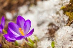 Flor bonita do açafrão da mola na imagem de fundo Imagem de Stock