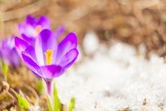Flor bonita do açafrão da mola na imagem de fundo Fotografia de Stock Royalty Free