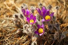 Flor bonita do açafrão da mola na imagem de fundo Fotos de Stock Royalty Free