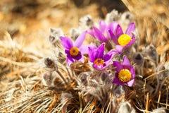 Flor bonita do açafrão da mola na imagem de fundo Imagem de Stock Royalty Free