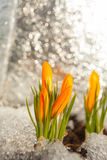 Flor bonita do açafrão da mola na imagem de fundo Imagens de Stock