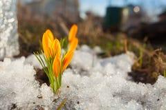 Flor bonita do açafrão da mola na imagem de fundo Foto de Stock