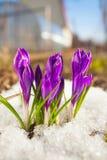 Flor bonita do açafrão da mola na imagem de fundo Fotografia de Stock