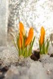 Flor bonita do açafrão da mola na imagem de fundo Foto de Stock Royalty Free