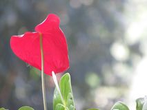 Flor bonita do antúrio da cor vermelha imagens de stock royalty free