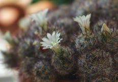 Flor bonita do cacto Imagens de Stock Royalty Free