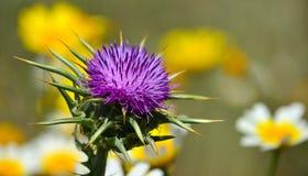 Flor bonita do cardo no primeiro plano foto de stock royalty free