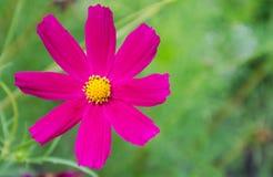 Flor bonita do cosmos Imagens de Stock