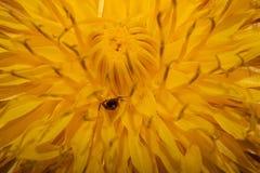 Flor bonita do dente-de-leão com uma formiga pequena para dentro Fotografia de Stock Royalty Free