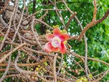 Flor bonita do foco da árvore da bala de canhão no parque fotografia de stock royalty free