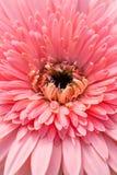 Flor bonita do gerbera Imagem de Stock