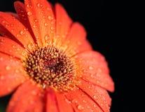 Flor bonita do gerbera Imagens de Stock
