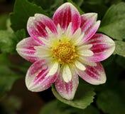 Flor bonita do gerbera Imagens de Stock Royalty Free