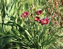 Flor bonita do hemerocallis no jardim Foto de Stock Royalty Free