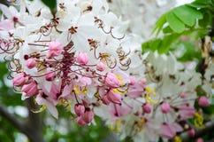 Flor bonita do javanica da cássia Foto de Stock