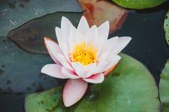 Flor bonita do l?rio dos l?tus ou de ?gua imagens de stock