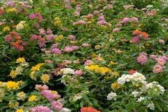 Flor bonita do Lantana imagens de stock