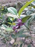Flor bonita do limão imagem de stock royalty free
