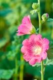 Flor bonita do malva Fotografia de Stock Royalty Free