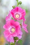 Flor bonita do malva Imagem de Stock