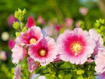 Flor bonita do malva Imagens de Stock