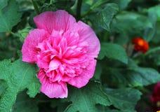 Flor bonita do malva Fotos de Stock Royalty Free