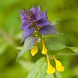 Flor bonita do nemorosum de Melampyrum foto de stock