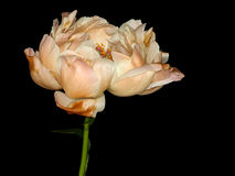 Flor bonita do peony fotos de stock royalty free
