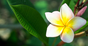 Flor bonita do plumeria Imagem de Stock Royalty Free