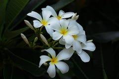 A flor bonita do Plumeria imagens de stock royalty free