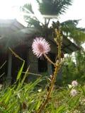 Flor bonita do pudica da mimosa da foto natural cingalesa Fotos de Stock