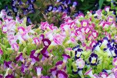 Flor bonita do torenia foto de stock royalty free