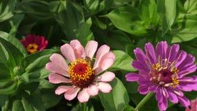 Flor bonita do tsiniya das flores no jardim Negócio da flor Flores bonitas do jardim na mola multicolored filme