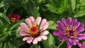 Flor bonita do tsiniya das flores no jardim Neg?cio da flor Flores bonitas do jardim na mola multicolored imagens de stock royalty free