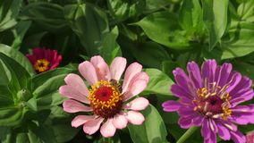 Flor bonita do tsiniya das flores no jardim Neg?cio da flor Flores bonitas do jardim na mola multicolored imagem de stock