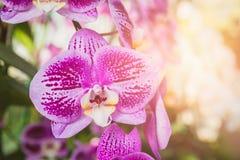 Flor bonita do verão, flor tailandesa da orquídea Imagem de Stock