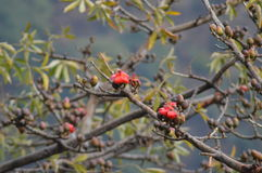 Flor bonita do vermelho da árvore Fotos de Stock