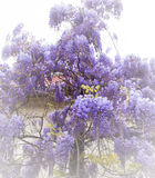 Flor bonita do wistaria no jardim Fotografia de Stock