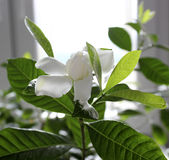 Flor bonita dos jasminoides da gardênia Fotos de Stock