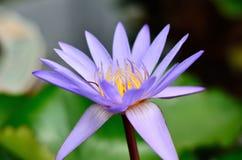 Flor bonita dos lótus roxos Fotografia de Stock Royalty Free