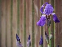 Flor bonita e brilhante da ?ris no canto direito com bot?es imagens de stock royalty free
