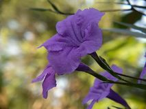 Flor bonita em Indonésia Fotos de Stock Royalty Free