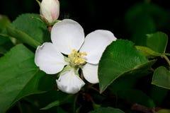 A flor bonita floresce em um ramo de uma Apple-árvore Foto de Stock Royalty Free
