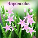 Flor bonita, ilustração do rapunculus da campânula Imagens de Stock Royalty Free