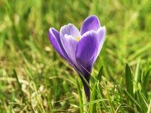 Flor bonita macia no sol do verão, flor do açafrão roxo Imagens de Stock