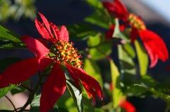 Flor bonita Madagáscar Foto de Stock Royalty Free