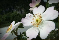 Flor bonita na natureza sem tocar Fotos de Stock