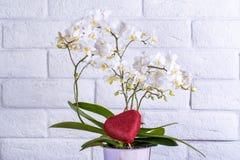 Flor bonita no bachground branco da parede do brich, flor do archidea com amor Foto de Stock Royalty Free