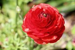 Flor bonita no jardim Foto de Stock Royalty Free